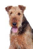 Perro agradable de la raza del terrier del airedale fotografía de archivo libre de regalías