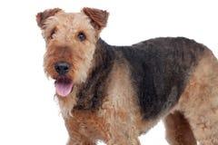 Perro agradable de la raza del terrier del airedale foto de archivo libre de regalías