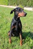 Perro agradable Dobermann Foto de archivo libre de regalías