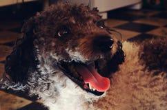 Perro agradable, lindo Jimmy en el piso de la cocina, perro sonriente Imagen de archivo