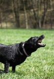 Perro agresivo Foto de archivo libre de regalías