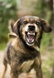 Perro agresivo, enojado Foto de archivo libre de regalías