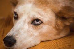 Perro agujereado con los ojos azules brillantes foto de archivo