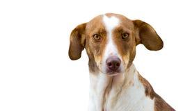 Perro aislado en blanco Fotos de archivo
