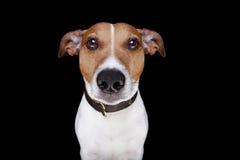 Perro aislado en negro Imágenes de archivo libres de regalías