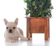 Perro al lado del árbol de navidad Foto de archivo libre de regalías