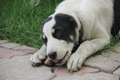 Perro Alabai blanco y negro imagenes de archivo