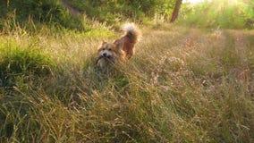 Perro alegre del corgi que corre en el bosque