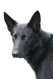 Perro alemán; Imagenes de archivo