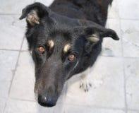 Perro alemán de Shepard Fotografía de archivo libre de regalías
