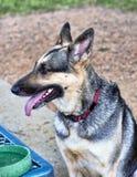 Perro alemán de Shepard Foto de archivo