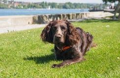 Perro alemán del perro de aguas foto de archivo libre de regalías
