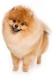 Perro alemán del perro de Pomerania Fotos de archivo