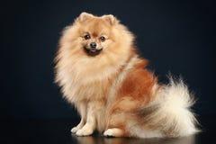 Perro alemán del perro de Pomerania imágenes de archivo libres de regalías
