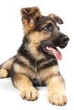 Perro alemán del shepard Imagen de archivo libre de regalías
