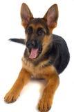 Perro alemán del shepard Imágenes de archivo libres de regalías
