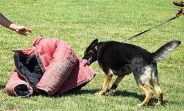 Perro alemán del shepher en el entrenamiento Imagen de archivo