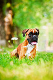 Perro alemán rojo del boxeador Imagen de archivo libre de regalías
