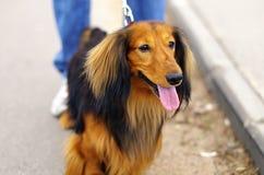Perro alemán rojo y negro del jengibre de tejón Imagen de archivo libre de regalías
