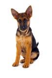 Perro alemán de Shepard que se sienta Imagenes de archivo