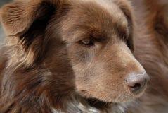Perro alerta de Brown Imagen de archivo libre de regalías