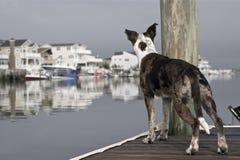 Perro alerta en el muelle Imágenes de archivo libres de regalías