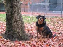 Perro alerta en hojas de otoño Foto de archivo libre de regalías