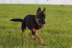 Perro Alsatian del perrito en paseo Fotografía de archivo