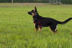 Perro Alsatian del perrito en paseo Fotos de archivo