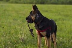 Perro Alsatian del perrito en paseo Imagenes de archivo
