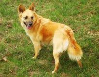 Perro amarillento del cur, perra del mut Foto de archivo libre de regalías