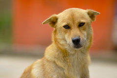 Perro amarillo Imagenes de archivo