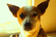 Perro amarillo con los ojos morados imagenes de archivo