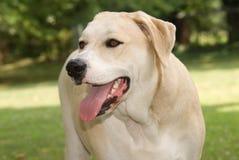 Perro amarillo de la mezcla de Labrador Fotos de archivo libres de regalías
