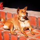 Perro amarillo de la raza de la mezcla que se sienta en la escalera Imagen de archivo