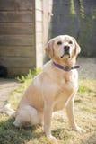 Perro amarillo de Labrador Fotos de archivo