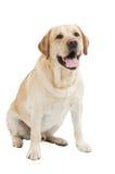 Perro amarillo de Labrador del perro perdiguero Imagen de archivo libre de regalías