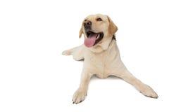 Perro amarillo de Labrador que miente con la lengua hacia fuera Foto de archivo