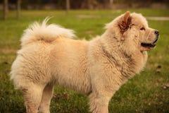Perro amarillo del perro chino de perro chino en el jardín Foto de archivo