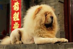 Perro amarillo del perro chino en un fondo de símbolos chinos Fotografía de archivo