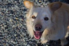 Perro amarillo feliz Foto de archivo libre de regalías