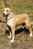 Perro amarillo grande del refugio en la correa que presenta afuera en parque soleado Fotografía de archivo
