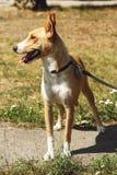 Perro amarillo grande del refugio en la correa que presenta afuera en parque soleado Imágenes de archivo libres de regalías