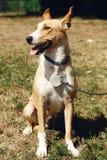 Perro amarillo grande del refugio en la correa que presenta afuera en parque soleado Fotos de archivo