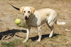 Perro amarillo lindo de Labrador del refugio que juega con la pelota de tenis o Imagen de archivo