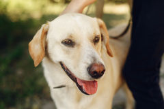 Perro amarillo lindo de Labrador del refugio que presenta afuera en el PA soleado Imagenes de archivo