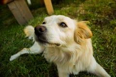 Perro amarillo lindo que mira la hierba delantera de la pizca del fondo Fotos de archivo libres de regalías