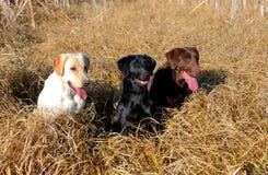 Perro amarillo, negro, y de Brown de la búsqueda Labrador Foto de archivo