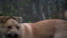 Perro amarillo que mastica la hierba y que mira alrededor almacen de video