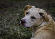 Perro amarillo que mira detrás Imagen de archivo libre de regalías